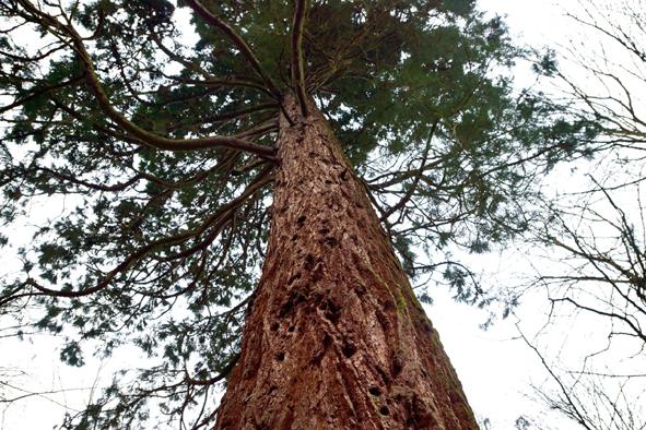 Baum PolyThea